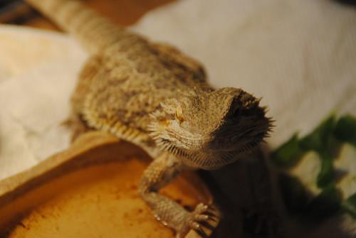 John, Bearded Dragon