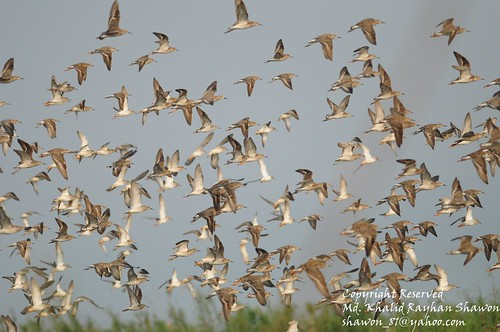 Flock of Migratory Birds, Tanguar haor, Sunamgonj