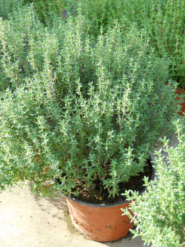 Thymus officinalis v 1