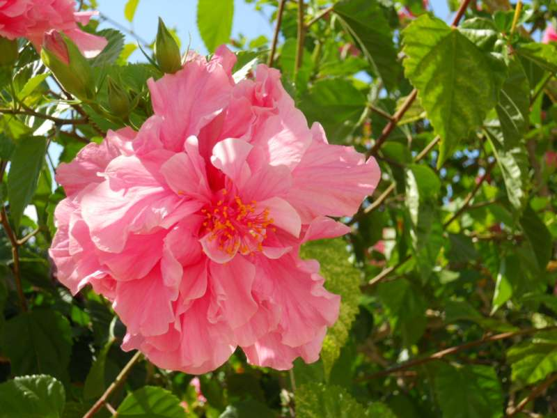 Hibiscus rosa sinensis 'Lyon' v 1..