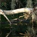 Small photo of Juvenile Alligator (Alligator mississippiensis)