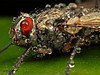 Bedazzled Fly