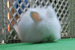 animal, rabbit, domestic rabbit, pet, angora rabbit, rabits and hares,