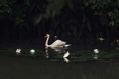 Swan and Lotus