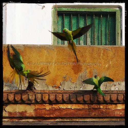 india bird animal square colours atmosphere parrot varanasi kashi benares benaras ghat uttarpradesh भारत