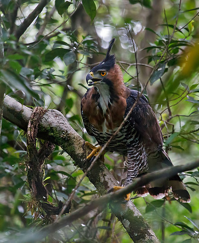 Ornate Hawk-Eagle (Spizaetus ornatus) - Prakthökörn