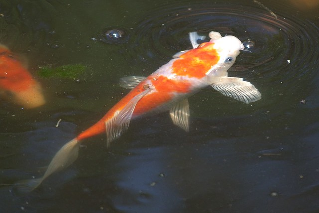 Koi pollen food and algae also i know why fish kinda for Best food for koi fish