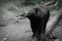 animal, american black bear, mammal, fauna, monochrome, bear, wildlife,
