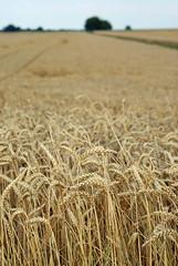 emmer, hordeum, prairie, agriculture, triticale, einkorn wheat, rye, food grain, field, barley, wheat, plant, harvest, food, crop,