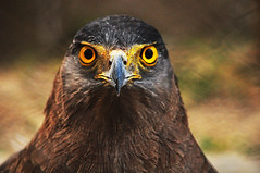 Crested Serpent-eagle......WHAT A PAIR OF EYES!!!!!!!!