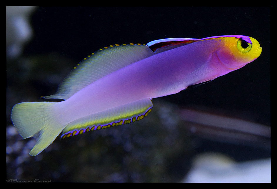 Helfrichi firefish for Saltwater goby fish