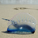 Portuguese Man o' War - Photo (c) Elido Turco, some rights reserved (CC BY-NC-SA)