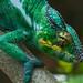 Panther Chameleon (Furcifer pardalis) by jmittermeier