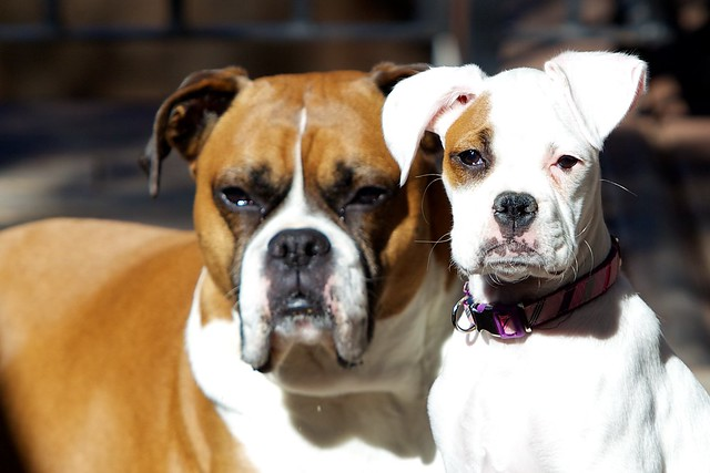 Brown Boxer and White Boxer | Flickr - Photo Sharing!