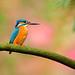 Romantic Kingfisher