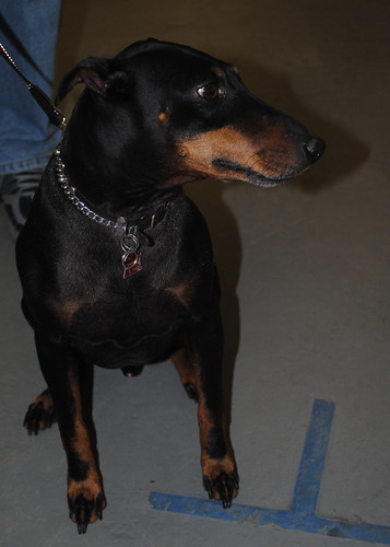 Pet Expo manchester terrier