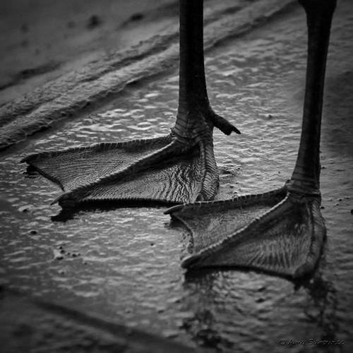 wild bw galveston bird feet animal closeup triangles texas tx wildlife seagull gull angles explore webbed