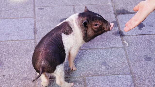 迷你猪 | flickr – 相片分享!