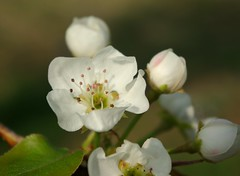Pear Blossoms and Buds