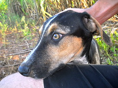 dog breed, animal, hound, dog, manchester terrier, pet, pinscher, carnivoran,