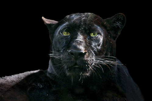 black panther portrait
