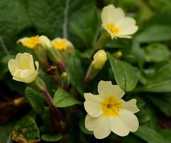 large-flowered evening primrose (0.0), four o'clock flower(0.0), four o'clocks(0.0), flower(1.0), yellow(1.0), plant(1.0), macro photography(1.0), wildflower(1.0), flora(1.0), primula(1.0), petal(1.0),