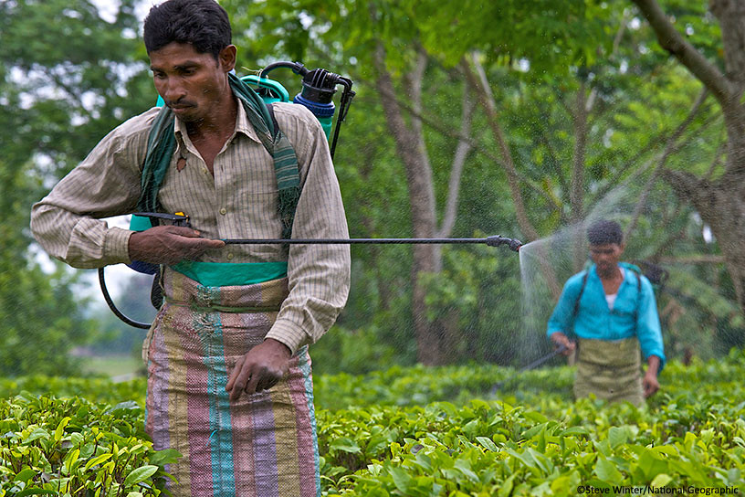 Fertilizing tea plants