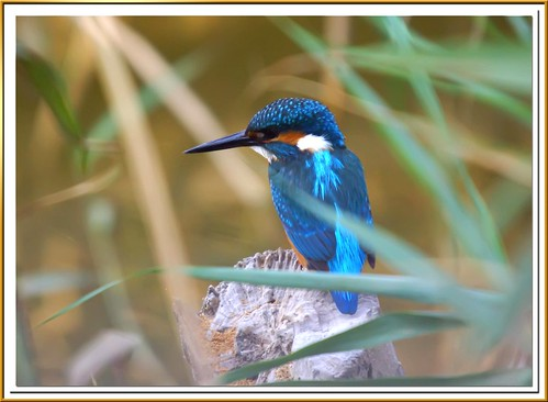 Martín pescador macho - Blauet - King fisher- Alcedo atthis