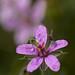 Un bichico testeando la flor de la mata de los alfileres (erodium malacoides)