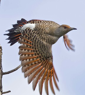 Flight of the Flicker
