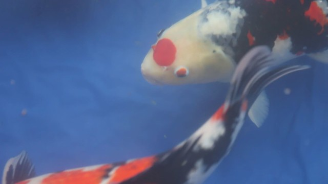 Rare Koi Fish Of Rare Japanese Koi Fish Flickr Photo Sharing