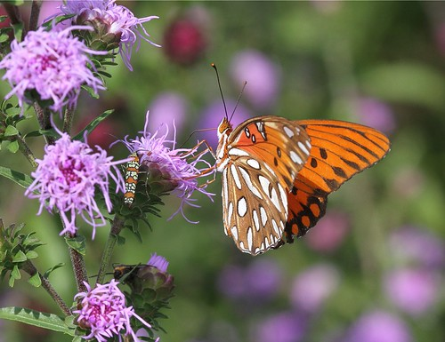 butterfly northcarolina picnik liatris gulffritillary richmondcounty alianthiswebwormmoth agraulisvanilla