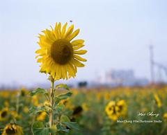 asterales, sunflower, flower, field, yellow, sunlight, plant, wildflower, flora, meadow,