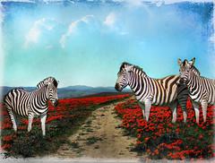 animal, zebra, mammal, fauna, illustration,