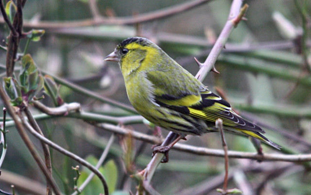 Male Siskin in our garden
