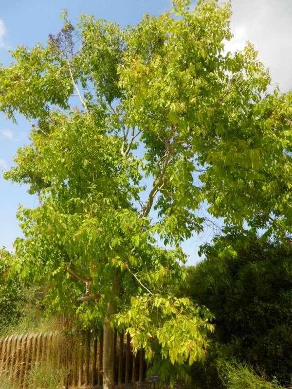 Eucalyptus torelliana v 2