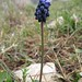 Muscari neglectum (Paul Harmes)