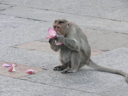 A monkey tasting the lotus flower inside a temple