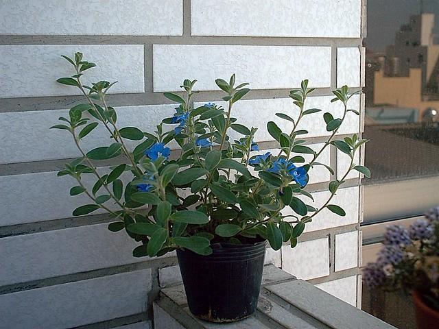 20030413 藍星花