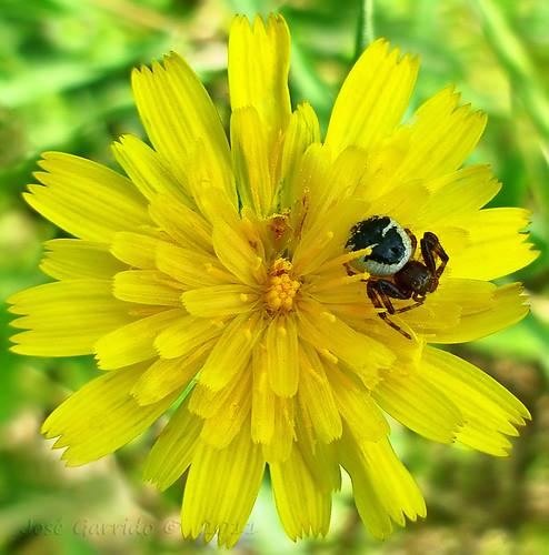 flower macro yellow spyder amarillo araña algeciras