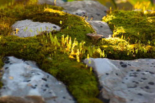 Fruiting moss and tiny mushroom