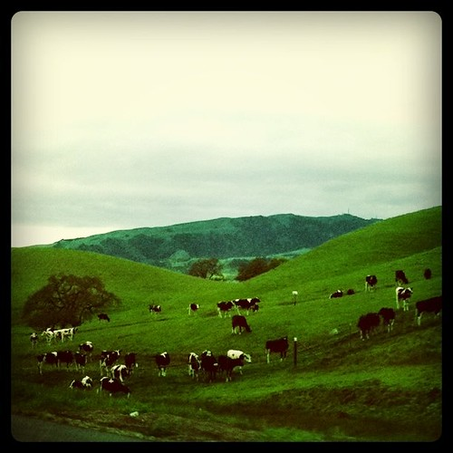 Bovine on the hill
