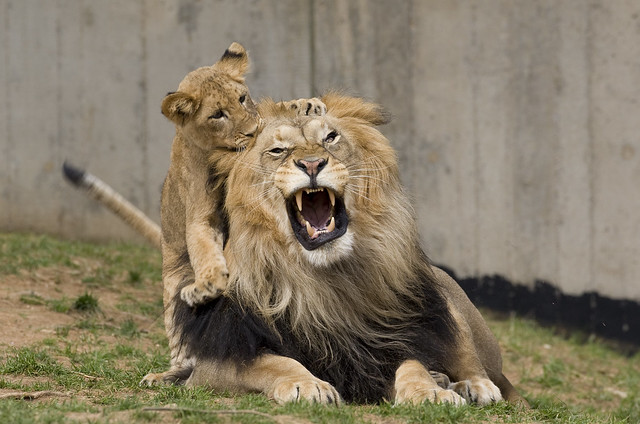 National Zoo's Lions Celebrate Spring's Arrival