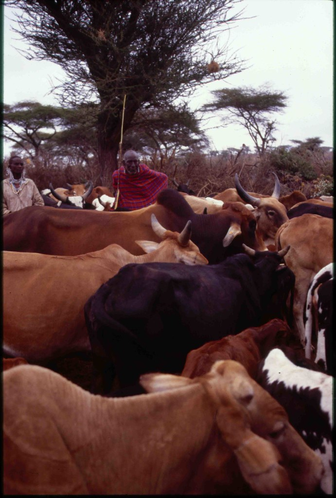 Maasai elder with his cattle