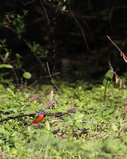My first ever male Painted Bunting!!!!!
