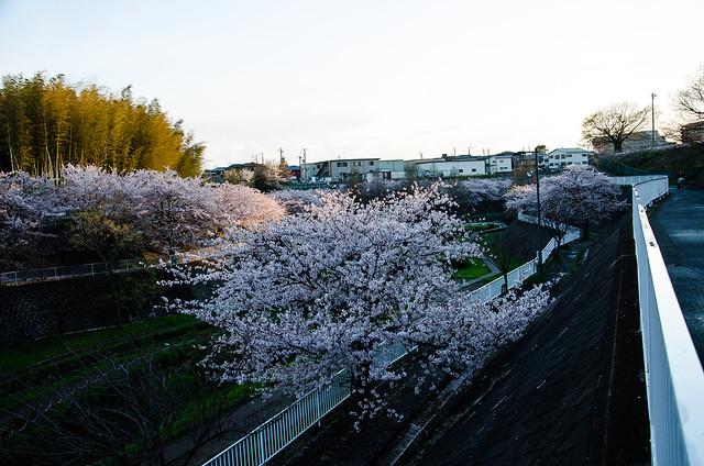 sakura_japan_14-6-4
