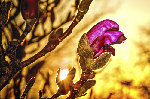 flowers nature blossoms sunsets buds macros magnolias odc tonemapping tonemap hbw tokina100mmf28atxprod bokehwednesdays ourdailychallenge