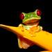 Small photo of Red-eyed Treefrog (Agalychnis callidryas)