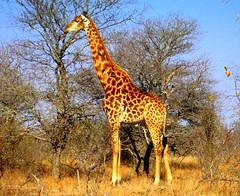 South Africa. Safari. Giraffe