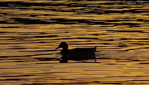 park water silhouette photography duck kodak